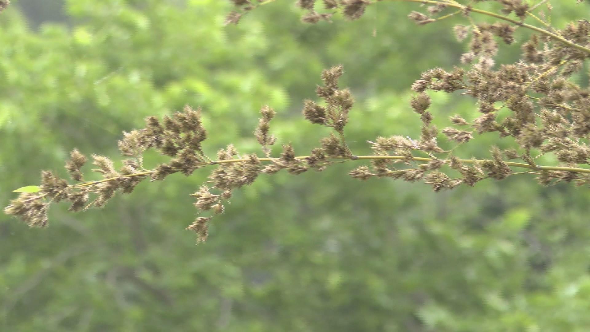 평생 한 번 볼 수 있을까…신비의 대나무꽃 만개