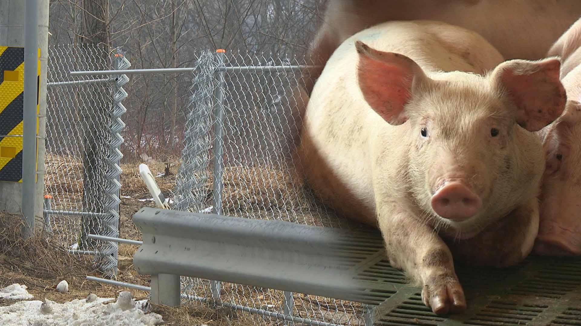 1천억 원 들인 돼지열병 저지 광역울타리 포기