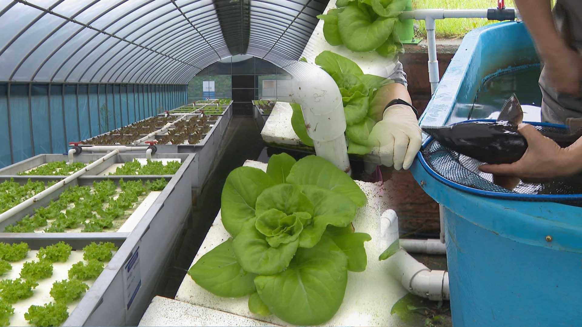 물고기 양식·잎채소 생산을 동시에…아쿠아포닉스 농법 주목